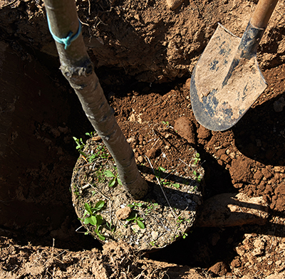 planting tree Tree Planting Service in Albuquerque, New Mexico